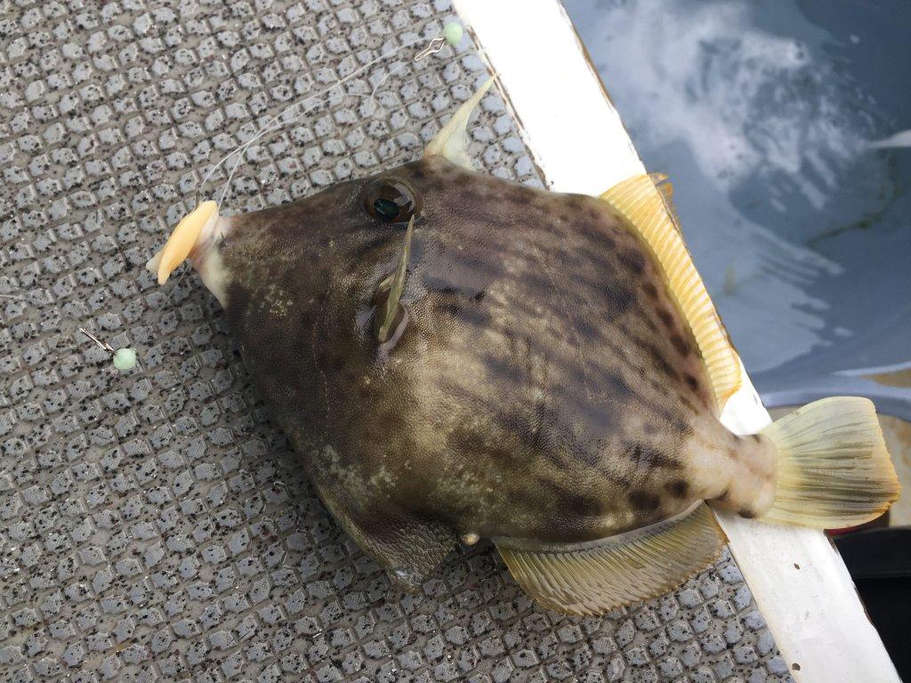 カワハギ釣り,和歌山,加太,三邦丸,船カワハギ