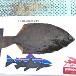 カレイ釣り,マコガレイ,中野一渡船,鳴門,堂浦,内の海,アオイソメ,カレイ撒き餌