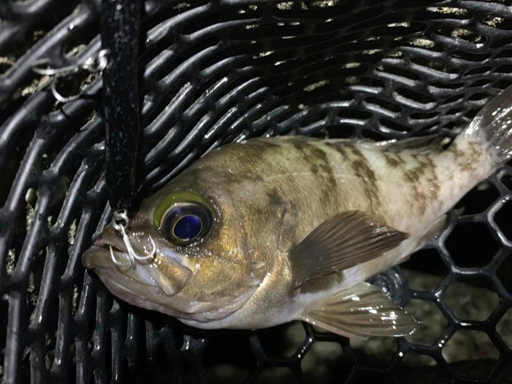https://j-fishingdiary.com/wp-content/uploads/2019/06/IMG_3258-150x150.jpg