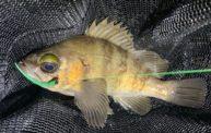 フロートリグのメバリングで大漁!!活アジストレート最高ですね。
