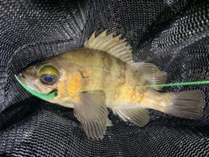 https://j-fishingdiary.com/wp-content/uploads/2020/05/IMG_8497-300x225.jpg
