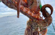 明石の船タコ釣りが連日好調。やっぱり餌パワーは外せないですね…