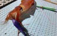 オモリグが激アツ!!ケンサキイカが大漁でした@京丹後