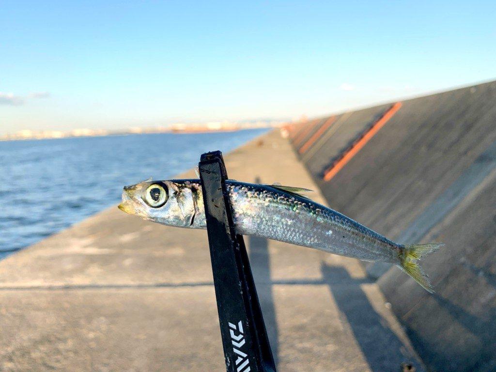 ブリ,のませ釣り,武庫川一文字