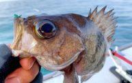 初心者にもオススメ!!明石のメバルサビキのタックル・仕掛け・釣り方を紹介