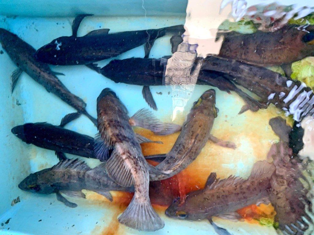 船メバル,メバルサビキ,明石,タックル,仕掛け,釣り方