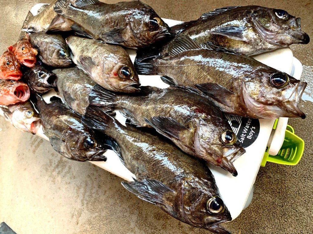 メバルサビキ ,明石,鍵庄,釣果